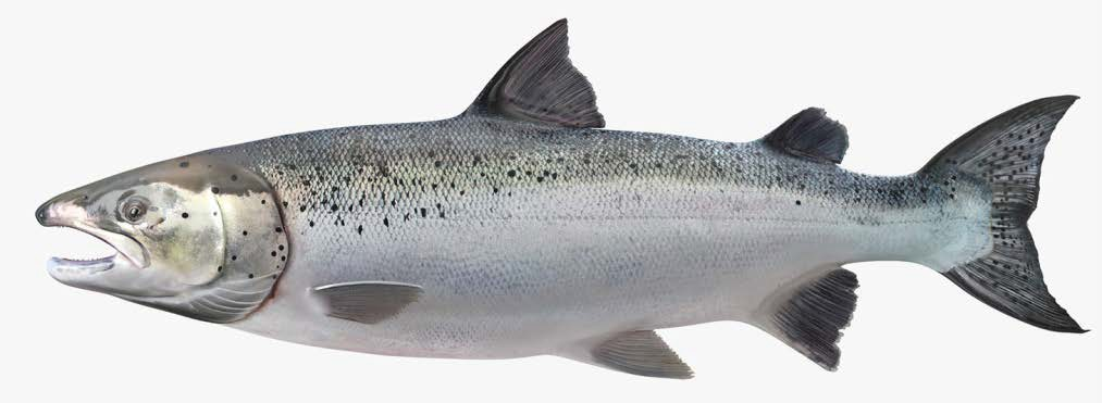 Антлантический лосось (семга)