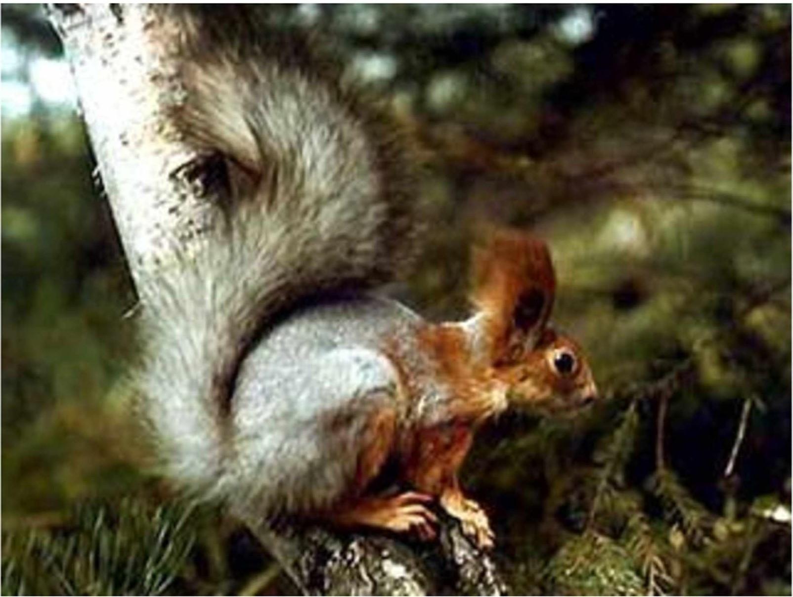 Белка обыкновенная (Sciurus vulgaris L.)