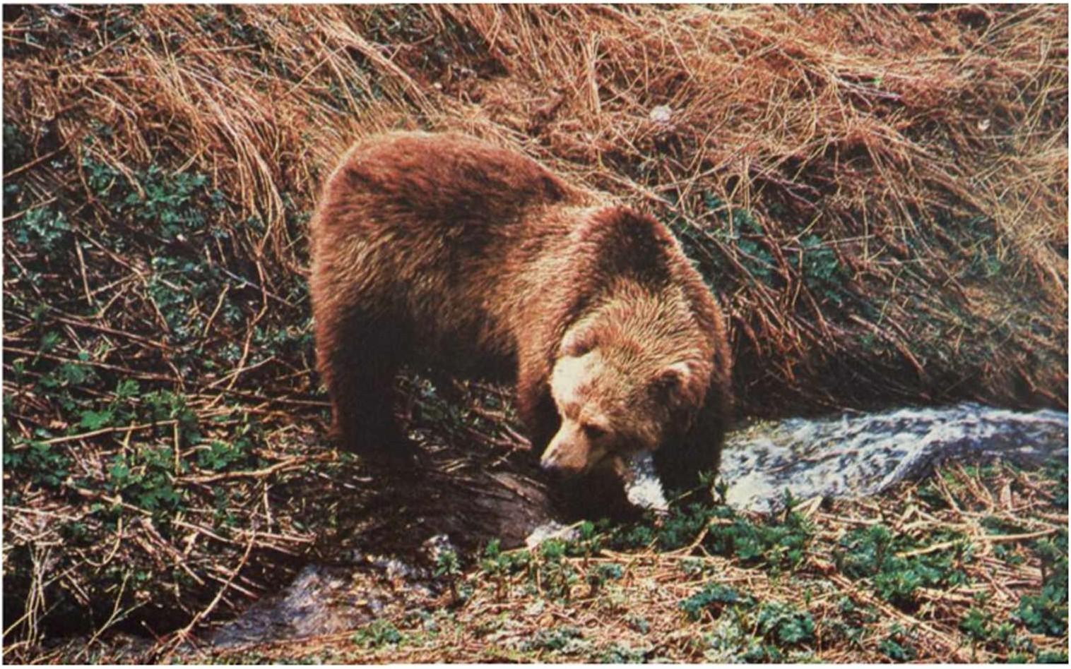 Бурый медведь (Ursus arctos L.)