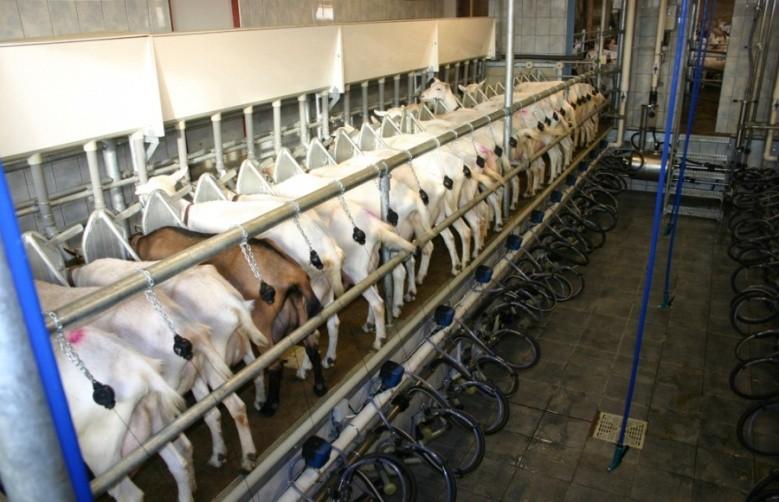 Доильная установка «Параллель» для коз
