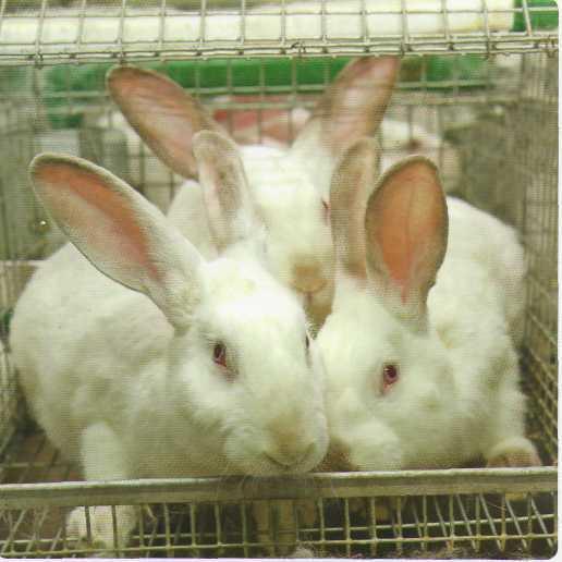 Кролиководство. Основы кролиководства и пушного звероводства