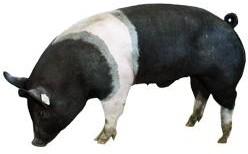 Хряк-производитель породы гемпшир