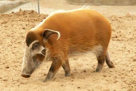 Кистеухая (речная свинья)