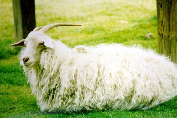 Козел оренбургской пуховой породы