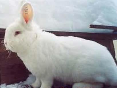 Кролик новозеландской белой породы