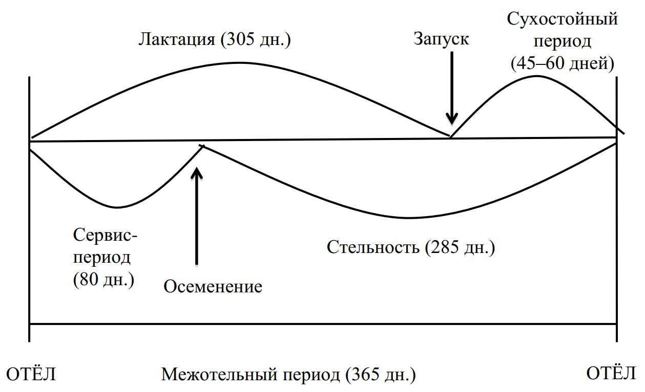 Межотелыный цикл коровы