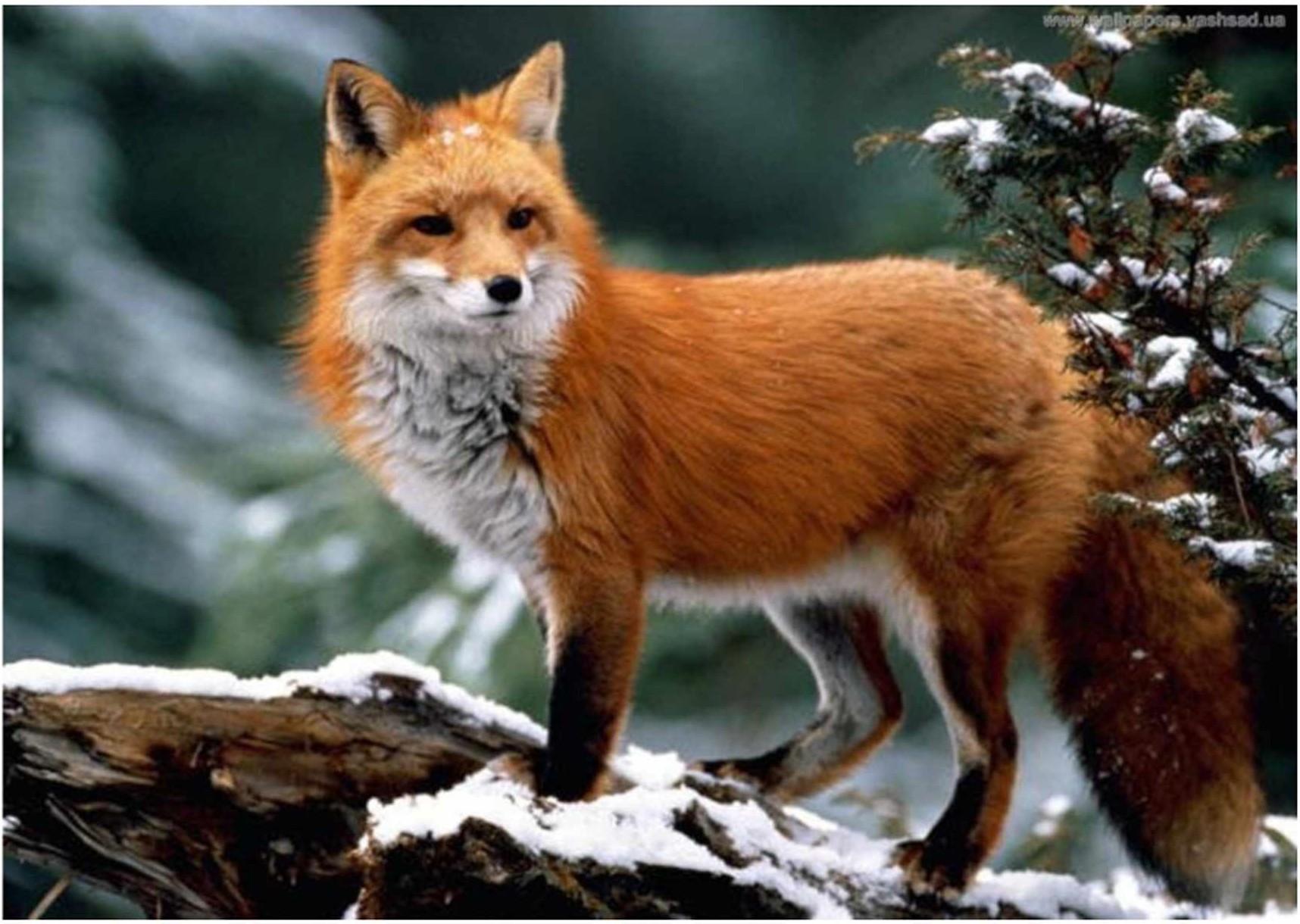 Обыкновенная лисица (Vulpes vulpes L.)