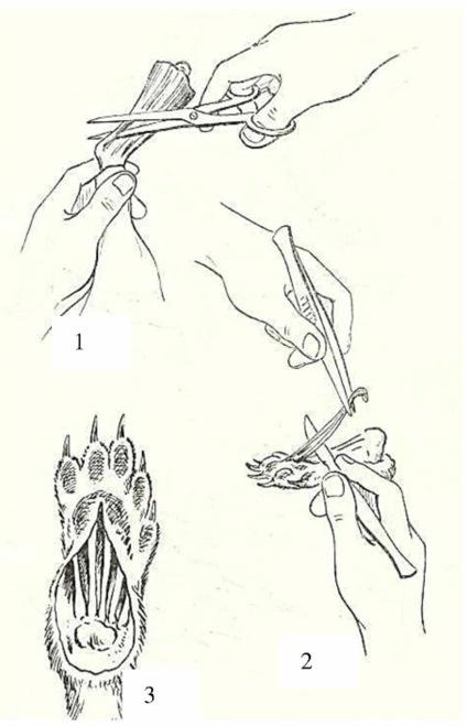 Очистка скелета конечности от мышц у зверьков