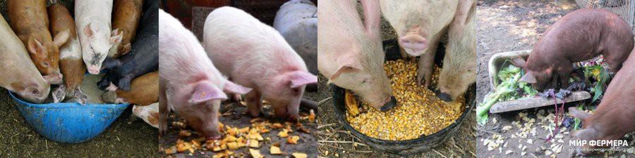 Основные корма для свиней