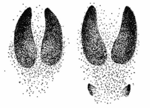 Отпечатки копыт лося на твердом и умеренно мягком грунте (слева), на заболоченной почве и снегу