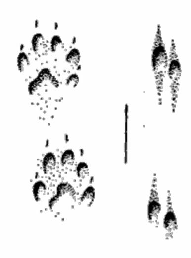 Отпечатки передней и задней лап куницы