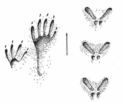 Отпечатки передней (слева) и задней лап белки
