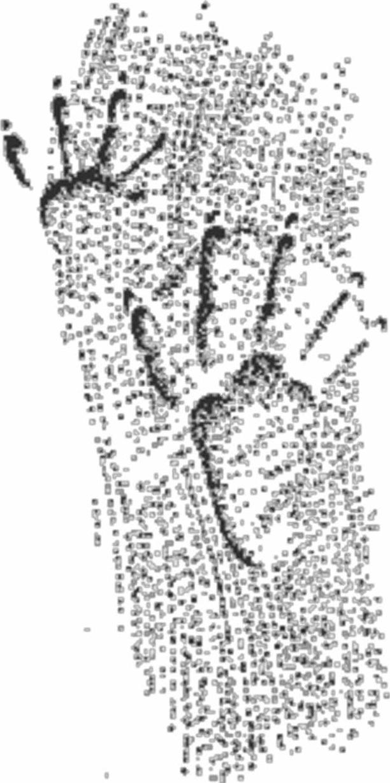 Отпечатки передней (вверху) и задней лап бобра на илистом грунте (следы