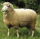 Овца породы прекос