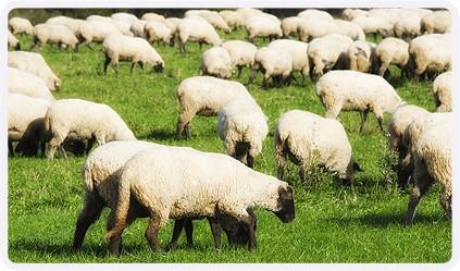 Овцы латвийской темноголовой породы