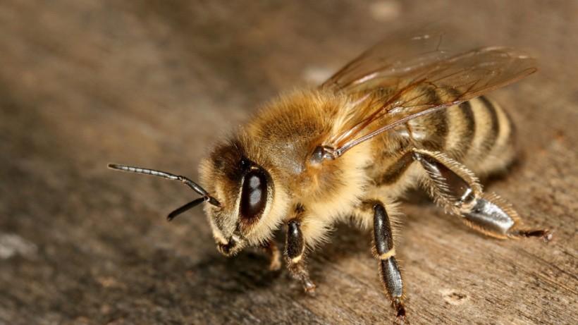 Пчела карпатской породы