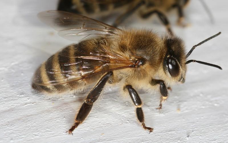 Пчела краинской породы