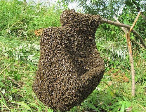 Пчелы собрались в рой