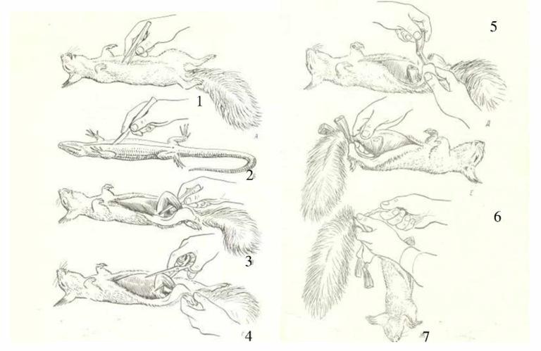 Препарирование четвероногих животных