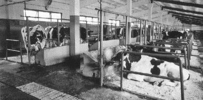 Привязное содержание крупного рогатого скота