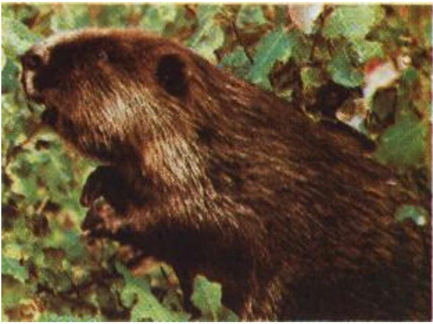 Речной бобр (Castor fiber L.)