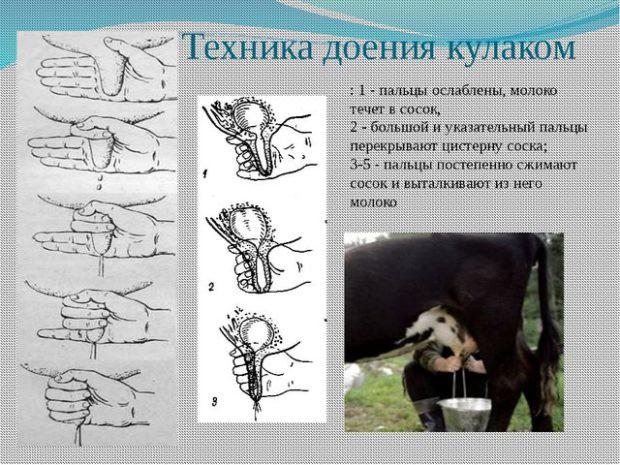 Ручное доение коров