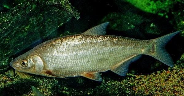 Рыбец (сырть)