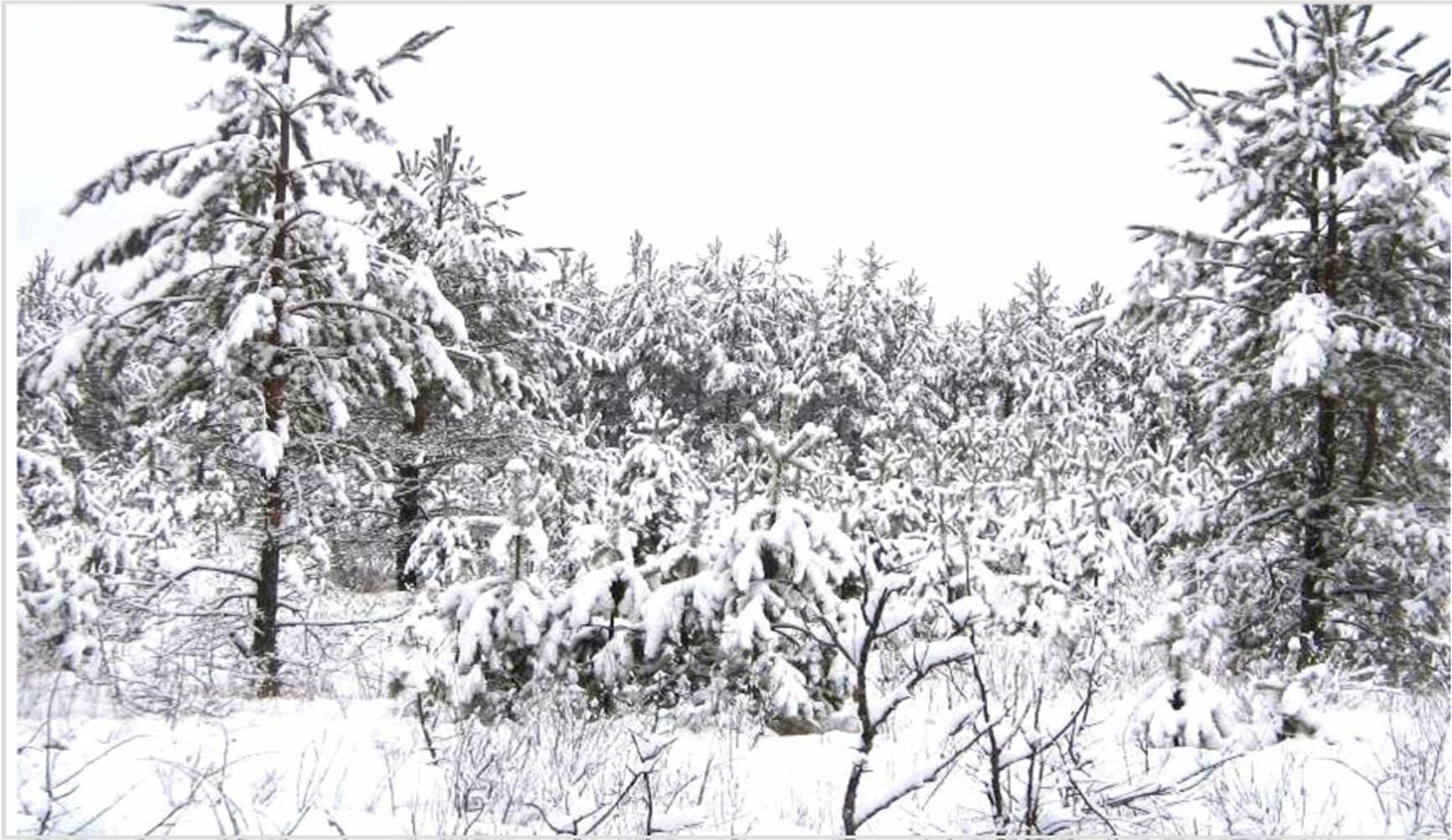Сосновые культуры зимой