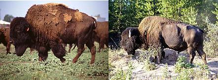 Степной и Лесной бизон