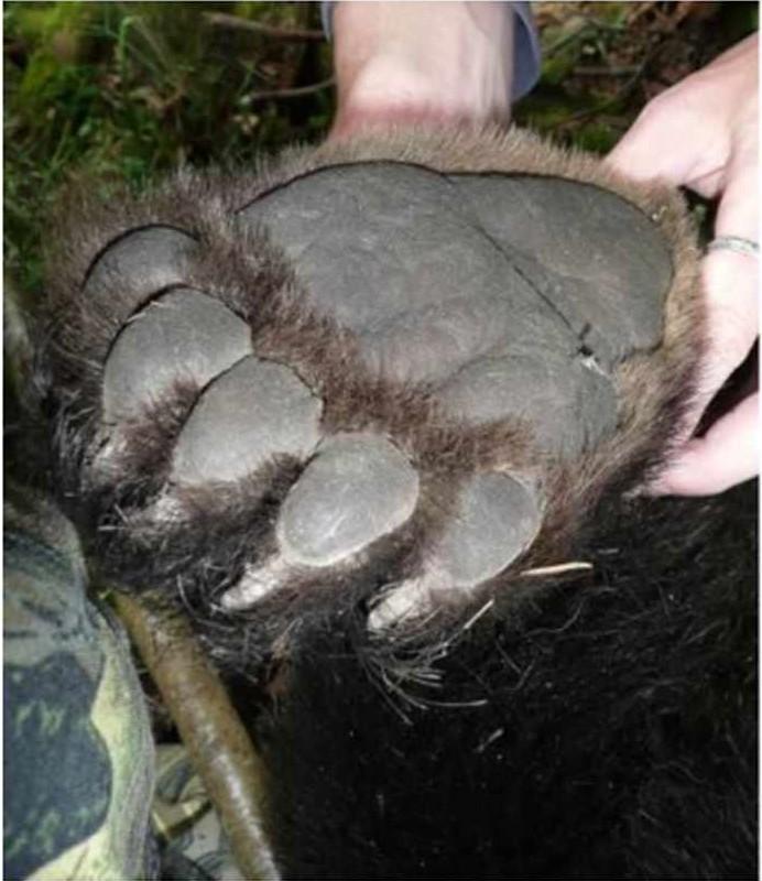 Ступня молодого медведя-пестуна: задняя лапа