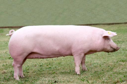 Свиноматка белорусской мясной породы
