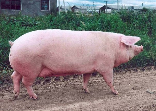 Свиноматка эстонской беконной породы