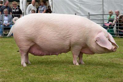 Свиноматка крупной белой породы