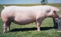 Свиноматка породы ландрас