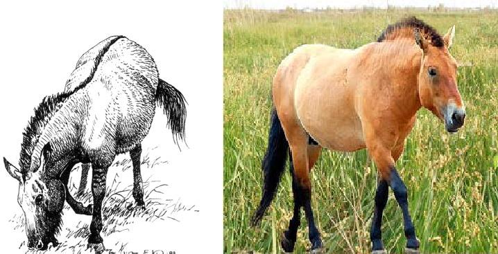 Тарпан и Лошадь Пржевальского