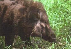 Яванская свинья