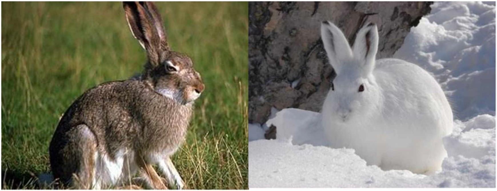 Заяц-беляк в летнее и зимнее время