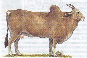 Зебувидный скот