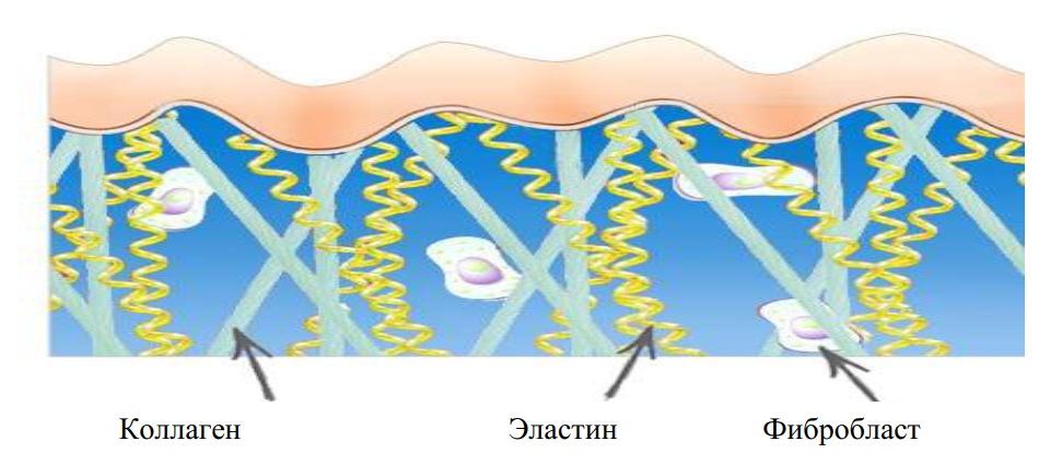 Белок в соединительной ткани