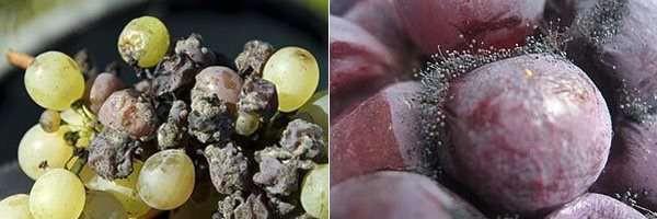 Черная гниль ягод винограда
