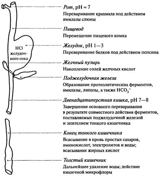 этапы переваривания и всасывания