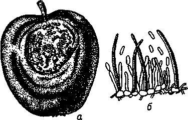 Горькая гниль яблок и груш