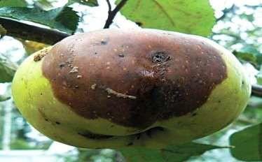 Горькая гниль яблок