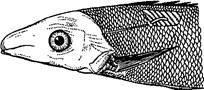 Личинка широкого лентеца в мышцах ерша