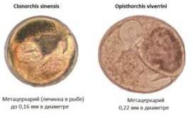 личинки описторхоз