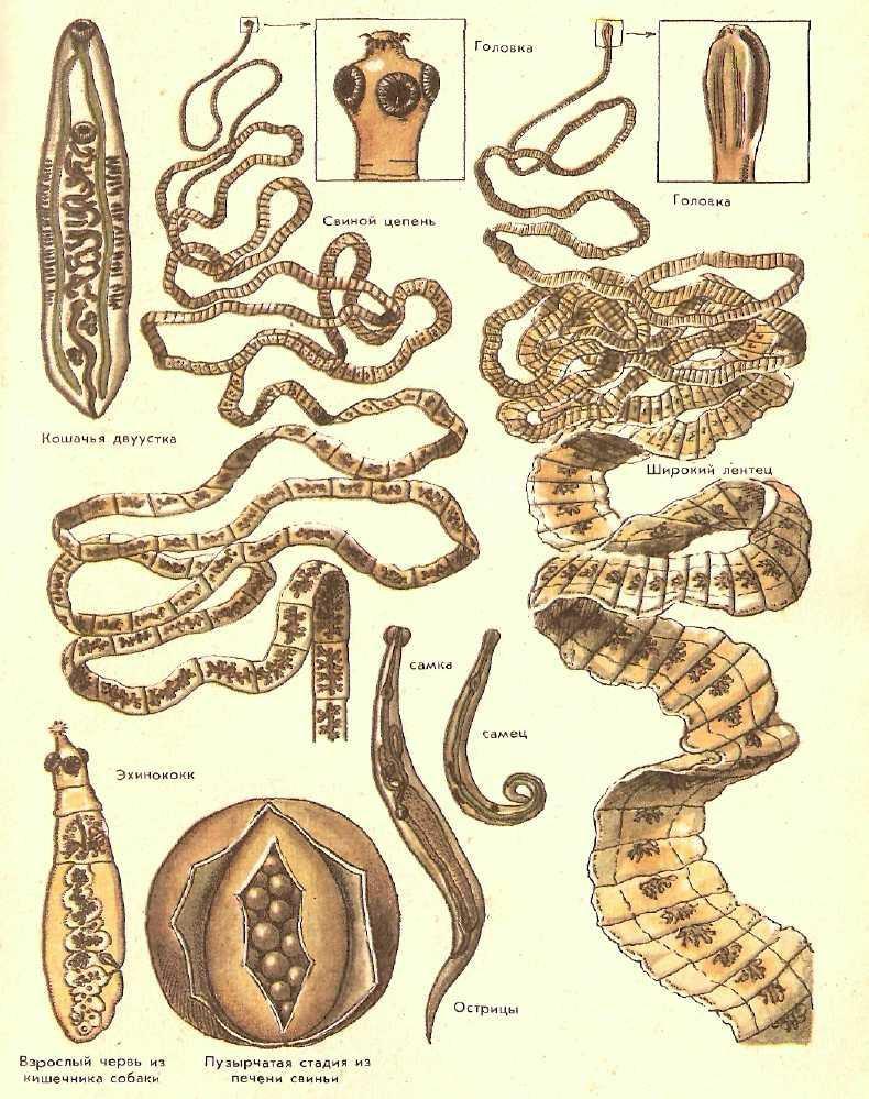 Паразитирующие черви