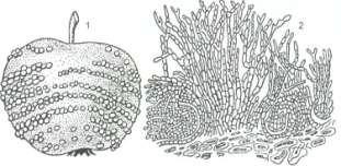 Плодовая гниль яблока пораженного Monilia fructigena