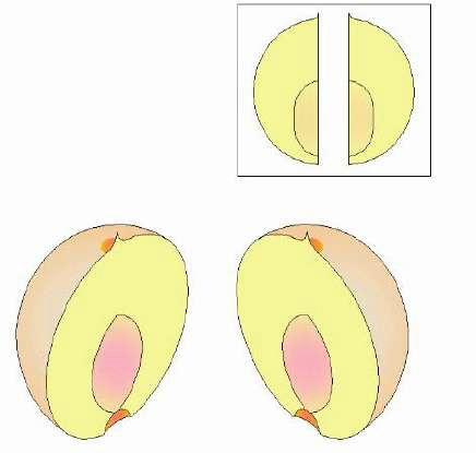 Принцип отделения косточки персика