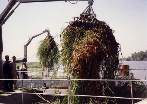 Процесс выгрузки из бункера срезанной водной растительности