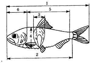 Схема измерения рыбы